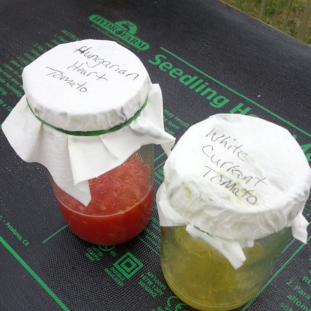 Saving seed by fermenting jars of tomato seeds.