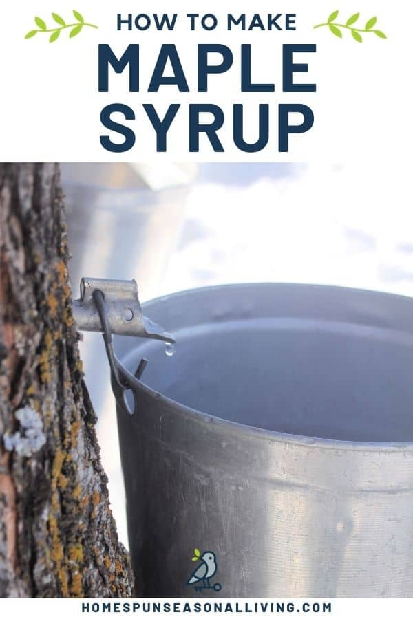 A spile sticking out of a tree truck dripping sap into a metal bucket with text overlay stating: how to make maple syrup.