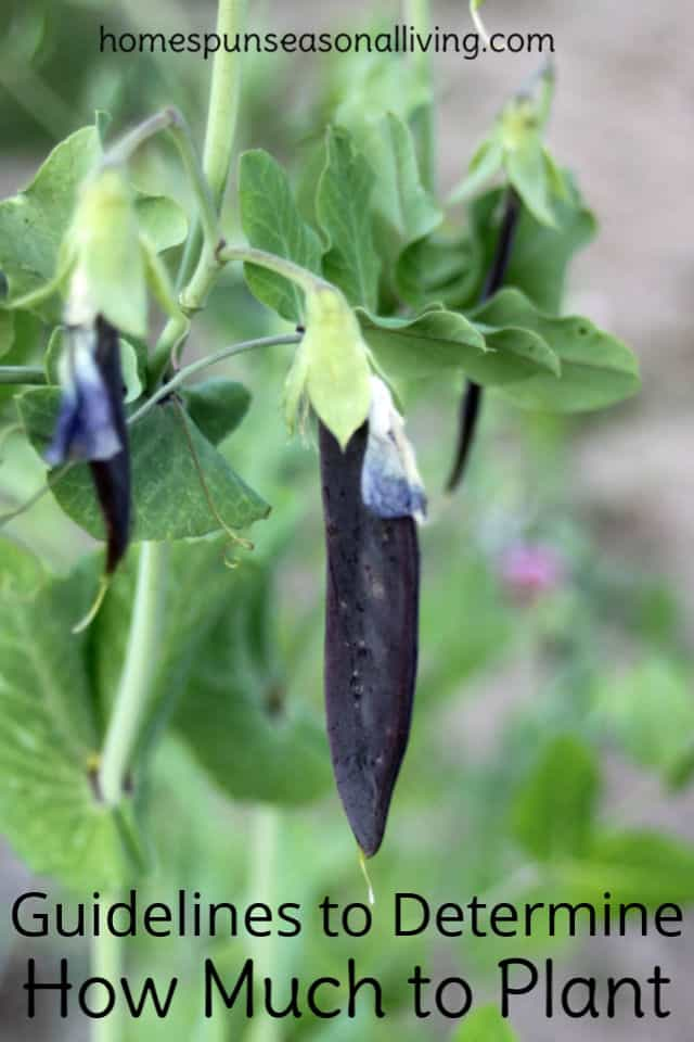 Blue podded pea hanging in the garden