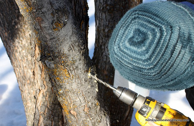 Man's head covered in knitted hat, while drilling holes for maple tap.