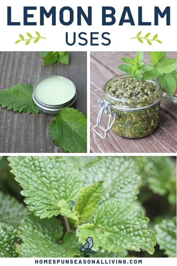 A collage of 3 photos including lemon balm lip balm, lemon balm pesto, and fresh lemon balm plant with text overlay.
