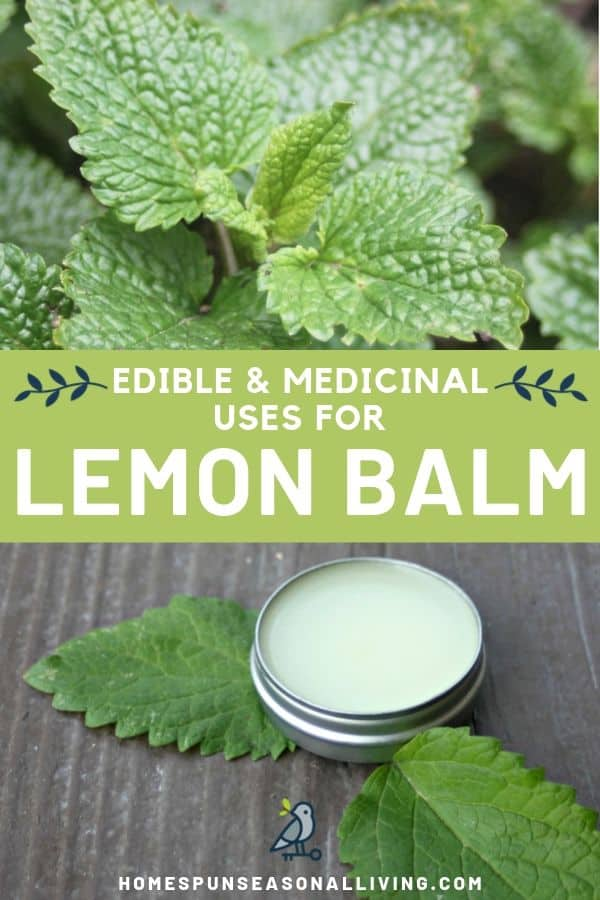 A collage of stacked photos with a picture of a lemon balm plant on top and tin of lip balm on the bottom. Text overlay in the middle.