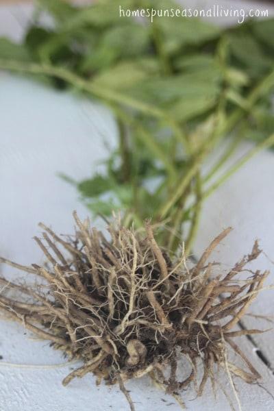 How to Harvest Medicinal Roots: Dandelion & Valerian - Homespun Seasonal Living
