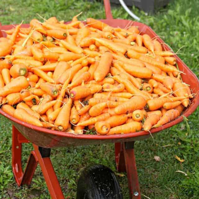 Wheelbarrow full of fresh carrots.