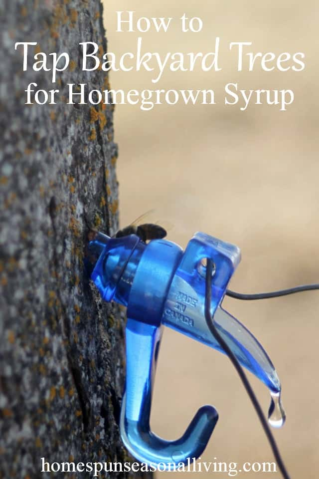 Tapping trees for syrup from the backyard is a simple and rewarding process to put sugar and sweeteners into the homegrown pantry.