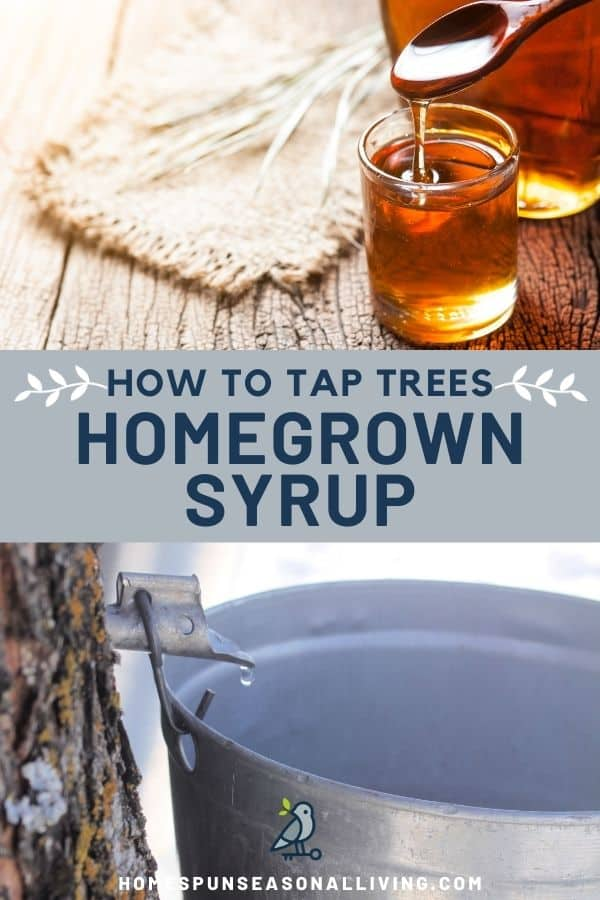 A photo of an open jar of maple syrup with a spoon dripping into it, sitting on top of a text box stating: how to tap trees homegrown syrup, sitting on top of a photo of a tap sticking out of a tree trunk dripping sap into a metal bucket.