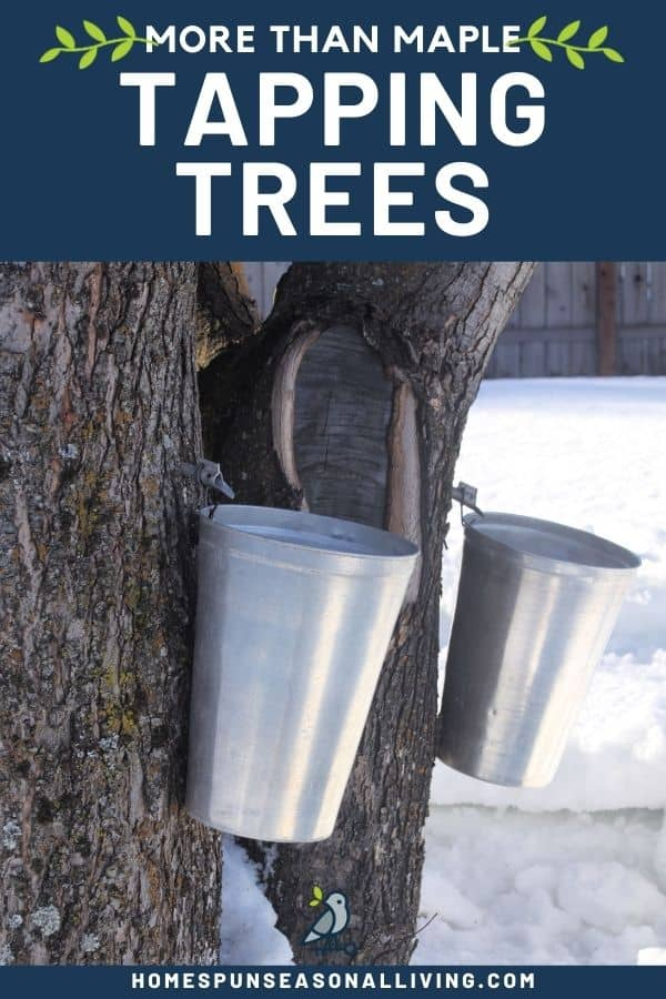 Two tree trunks with spiles and hanging metal buckets with text overlay stating: more than maple tapping trees.