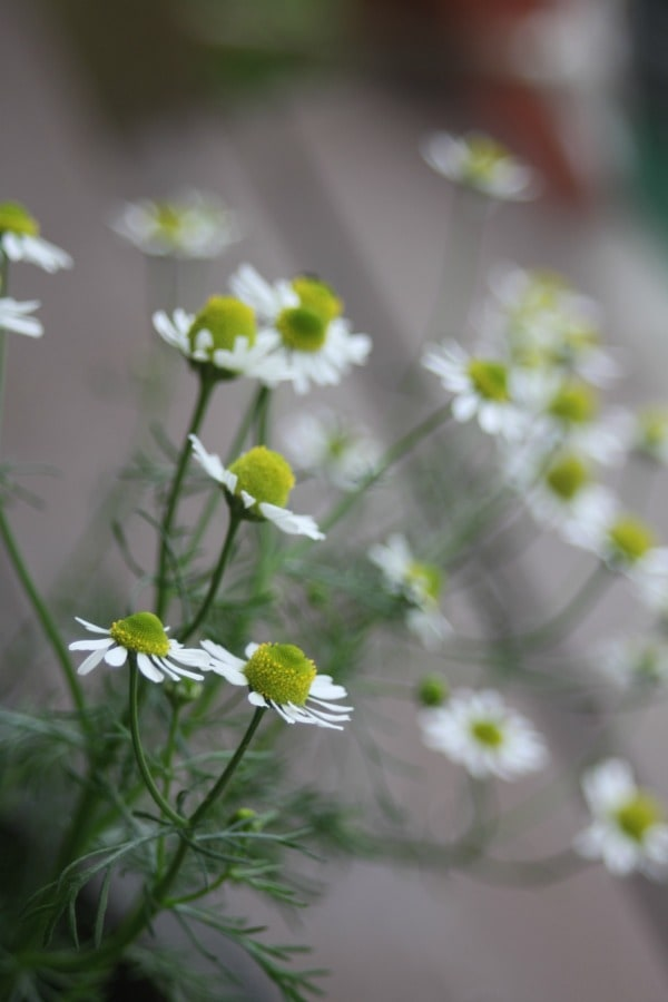 Fill the herb bed with these 5 useful and pretty plants.