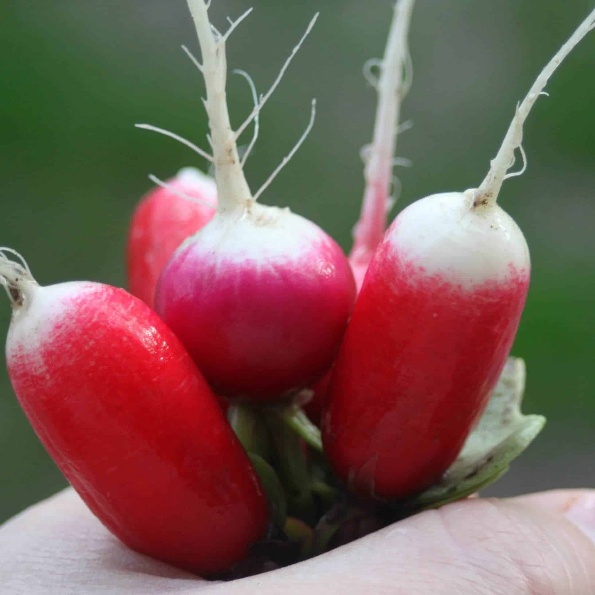 Gardeners and cooks alike can find an easy and tasty win by growing and using radishes. Make the most of this early & easy to crop for gardens of all sizes.