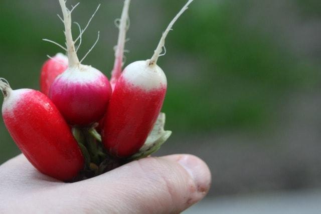 A fistful of fresh radishes.