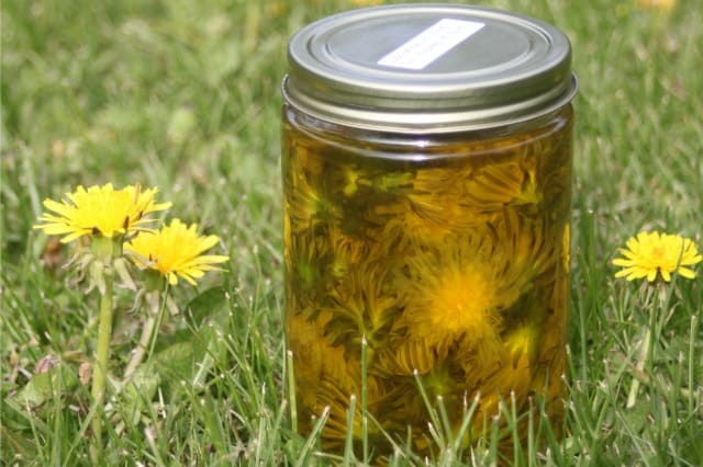 dandelion blossoms in a jar of olive oil.