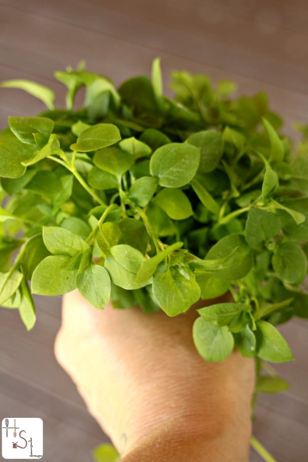 Use the natural power of mother nature to relieve itchy skin by making and using Chickweed Bath Vinegar.