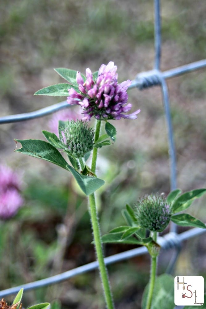 Drying and using red clover for internal and external use is easy and rewarding.