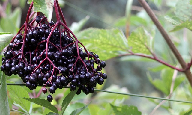 Be prepared for cold and flu season by making elderberry tincture with these easy methods that use fresh or dried elderberries in either vodka or alcohol-free glycerin.