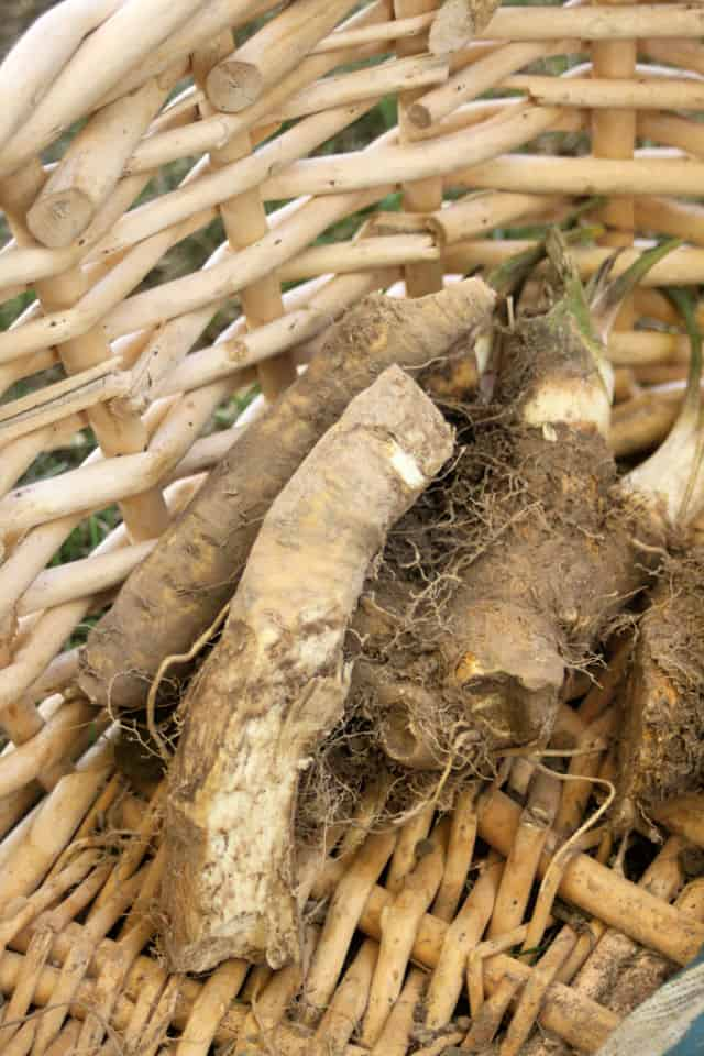 Freshly harvested horseradish roots in a basket.