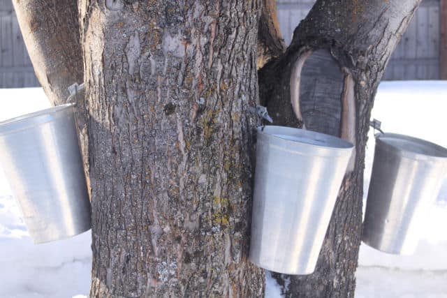 3 sap buckets hung for backyard tree tapping