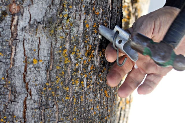 Hammering spile into maple tree for backyard tree tapping.