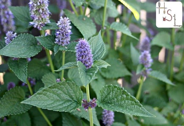 Anise hyssop in bloom in the garden.