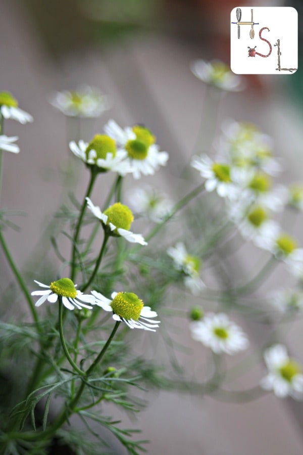 Chamomile in bloom in the garden.