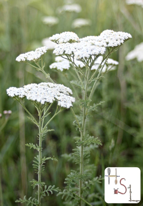 Yarrow Home Medicinal Herb Garden
