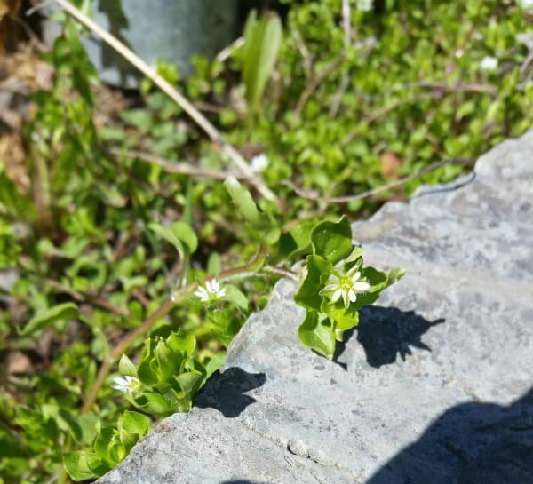 A stem of chickweed with leaves and flowers in a rocky field.