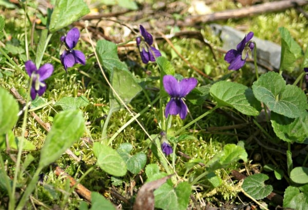 wild purple violets on the forest floor.