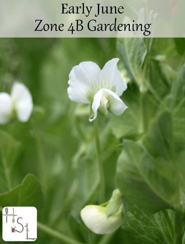 Early June Zone 4B Gardening