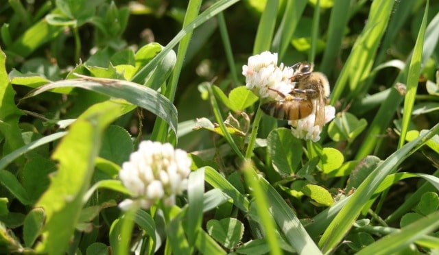 Honeybee using white clover.