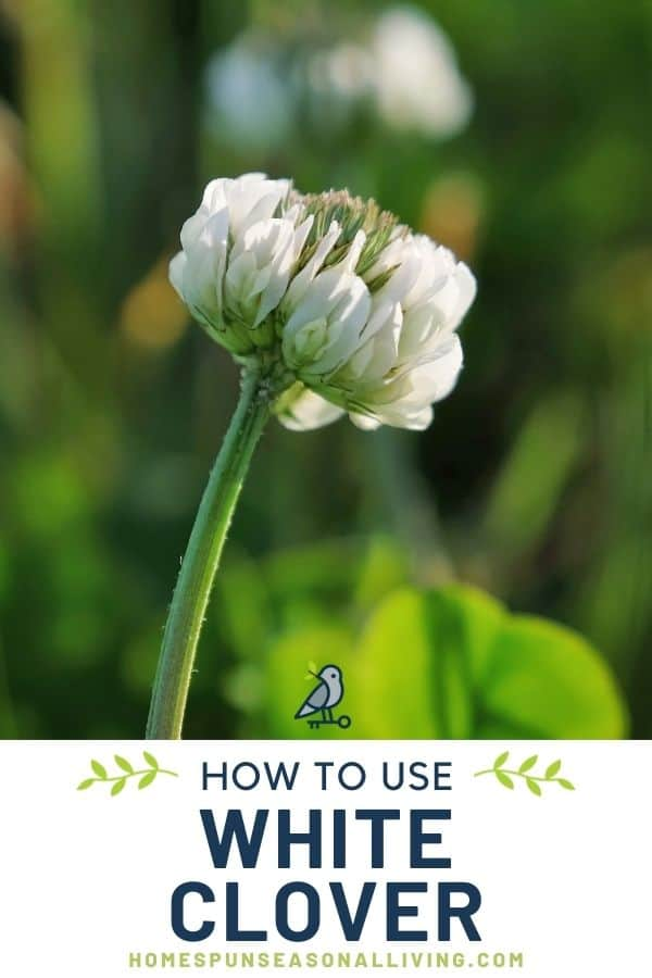 Close up of a single white clover blossom on a stem with text overlay stating how to use white clover.