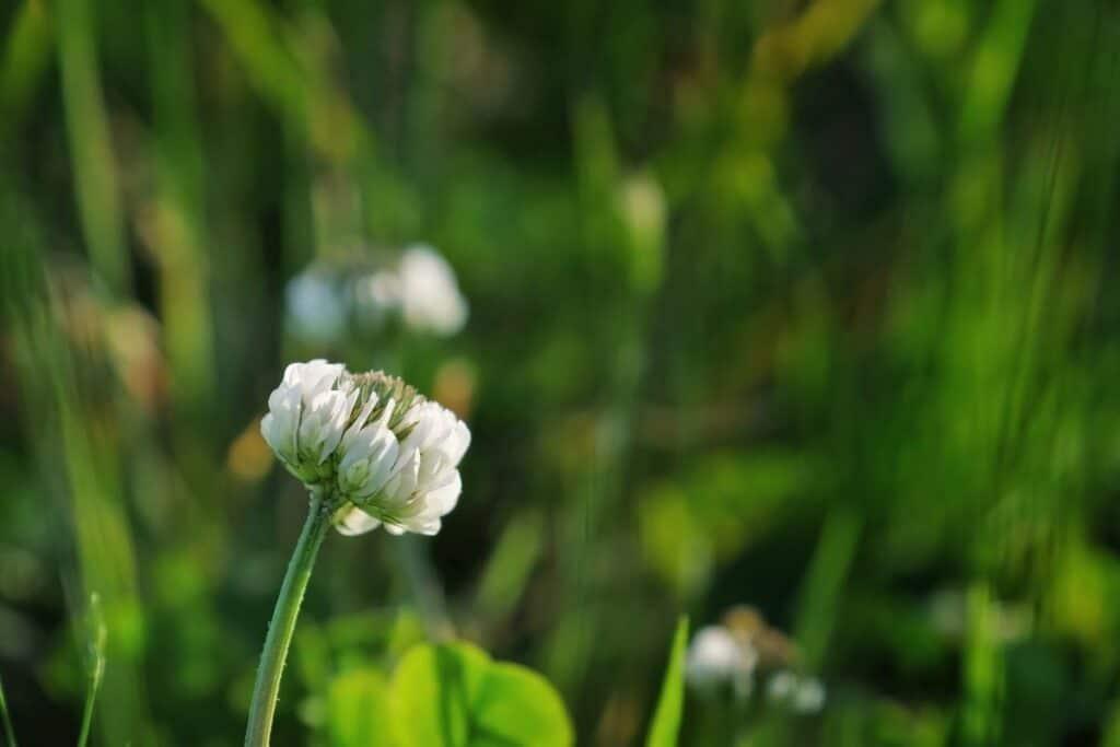 Close up of a single white clover blossom on a stem.