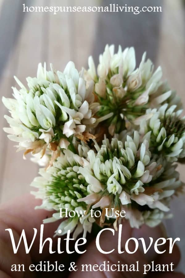 Using white clover for food and medicine homespun seasonal living using white clover by the handful mightylinksfo