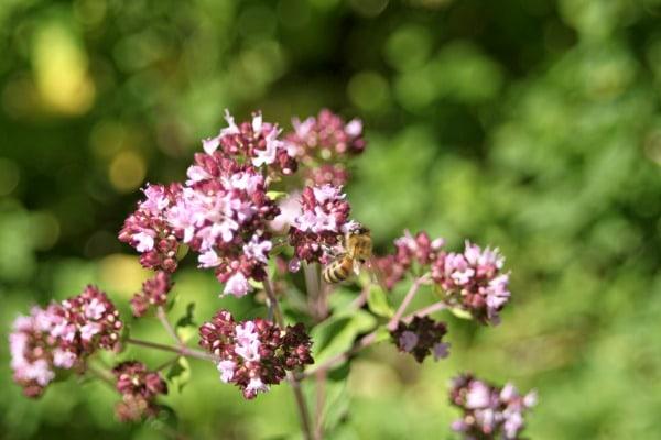 Oregano flower in bloom.