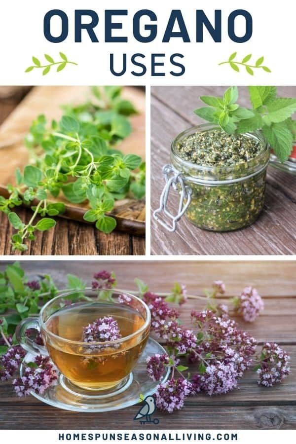 A photo of fresh oregano stems on a board sitting next to a photo of an open jar of pesto, stacked on top of a photo of a cup of herbal tea surrounded by oregano flowers, all sitting beneath a text block reading: oregano uses.