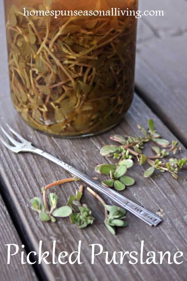Make the most of those nutritious and flavorful garden weeds with the easy Pickled Purslane recipe for a delicious sandwich fixing, snack, and more.