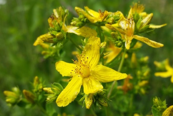 Make the most of St. John's Wort's healing power by using St. John's Wort for mood and body ailments with these two easy DIY projects.