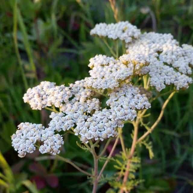 Yarrow in bloom