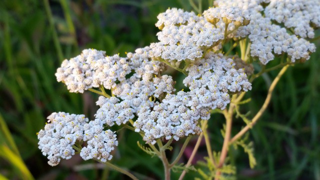Yarrow in bloom.