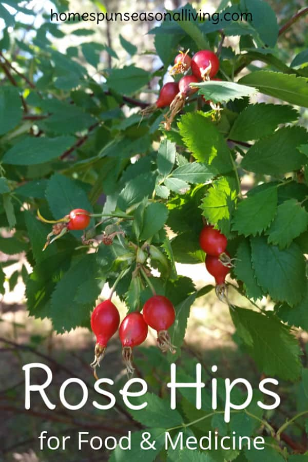 Wild Rose Hips for food and medicine ready to be harvested.