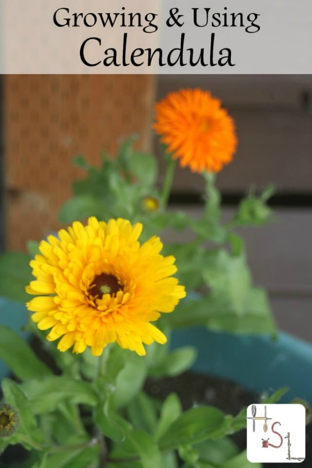 Growing and using calendula is easy and rewarding.It self-seeds in most climates and has culinary, medicinal, and beauty product uses.