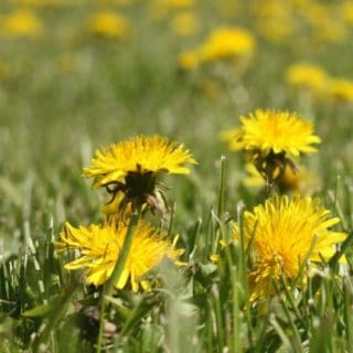 Blooming dandelions in the grass.