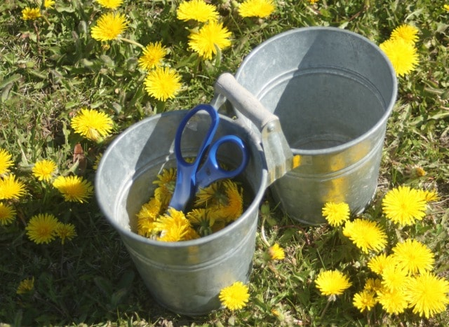 Silver bucket in a lawn surrounded by dandelion blossoms.
