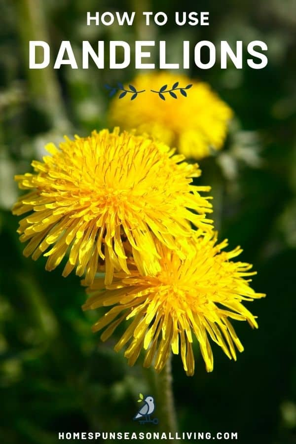 Dandelion flowers in bloom in a field with text overlay stating how to use dandelions.