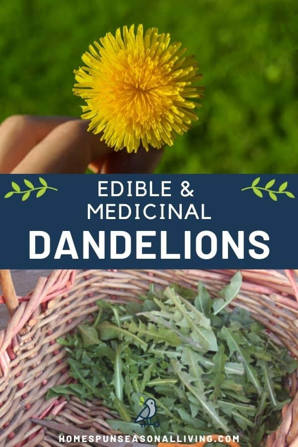 A hand holding a yellow dandelion flower, sitting on a text box stating edible & medicinal dandelions sitting on top of a basket full of green dandelion leaves.