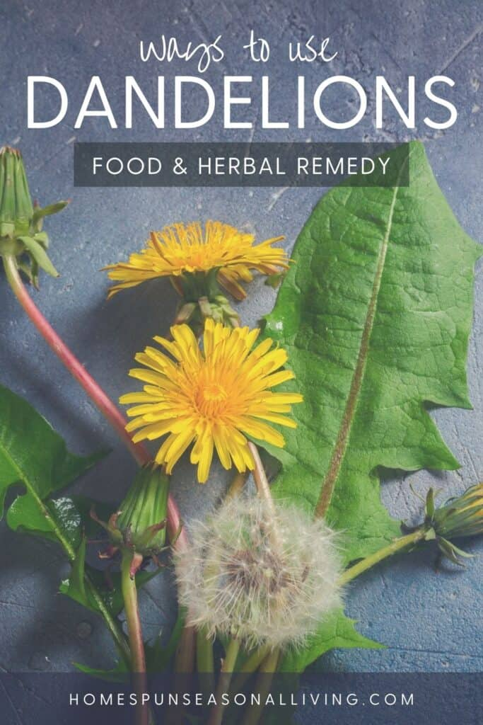 A dandelion seed head, blooming yellow dandelion flowers, and green dandelion leaves on a grey table with text overlay stating ways to use dandelions: edible & herbal remedy.