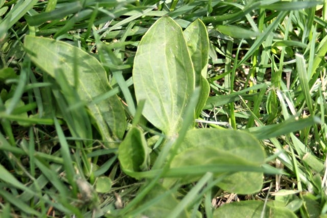 Plantain leaves in the grass.