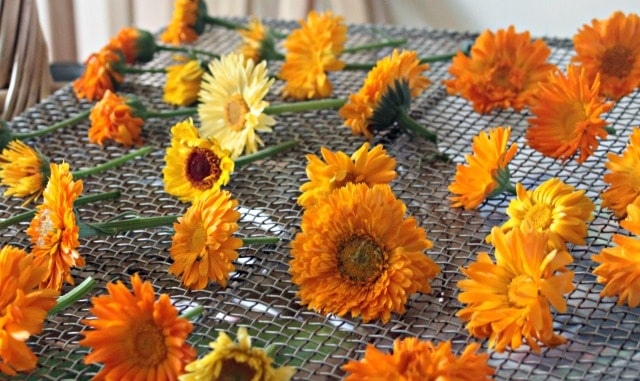 Calendula blossoms laid out on a wire screen.