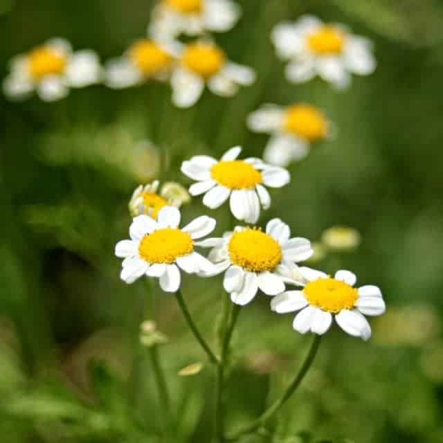External & Internal Uses of Feverfew