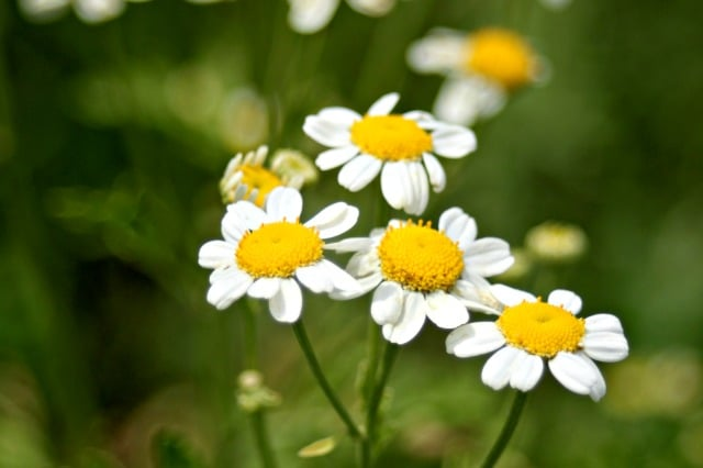 Get natural insect repellent, headache relief, and anti-inflammatory in one natural source by learning the external & internal uses of feverfew.