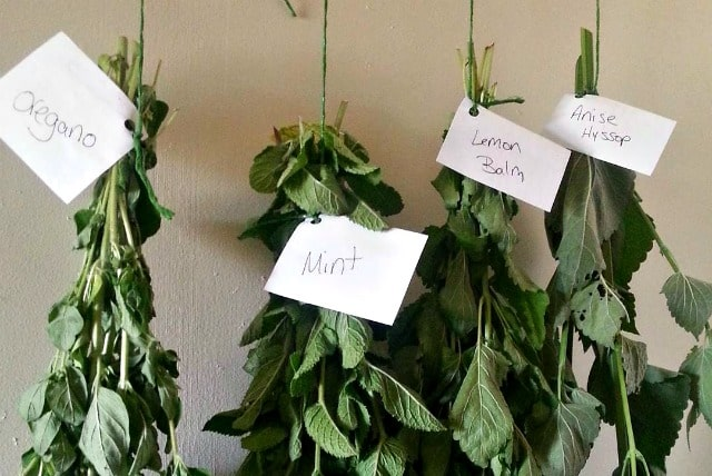 Herbs hanging to dry with labels attached to identify.