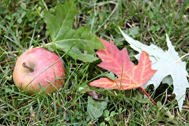 An apple with red and green leaves on the grass.